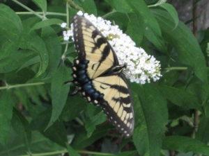 Swallowtail Butterfly on Buddleia  - Butterfly garden