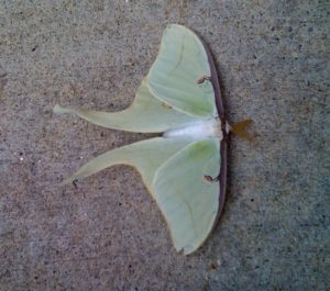 """Actias luna, commonly known as the Luna Moth found on a local sidewalk.  One of the largest moths in North America with a wing span of about 4.5""""."""