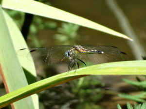 garden inspiration, garden design, How to create a water garden, backyard habitat, Female Blue Dasher Dragonfly