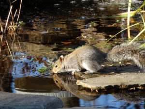 Squirrel at water 002