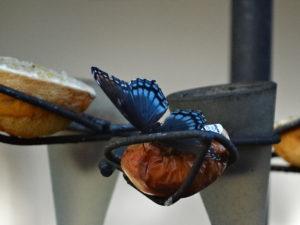 Butterfly on fruit 004