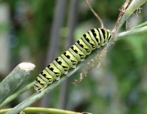 caterpillar on bronze fennel 003 (2)