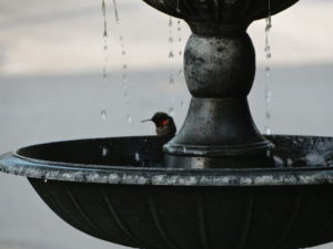 Hummingbird at Fountain 5-15-13 002