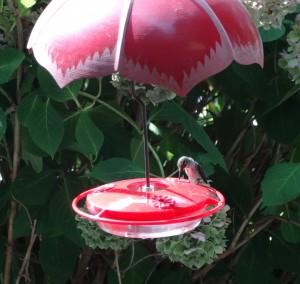 TSG Hummingbird at Feeder (2)