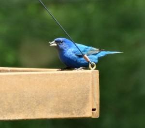 C & O and blue bird 068