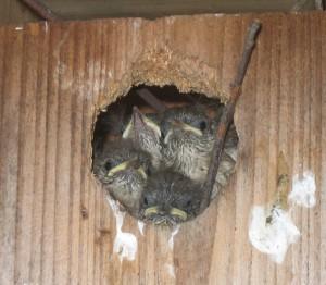 116_1666-Nesting-Wrens.JPG