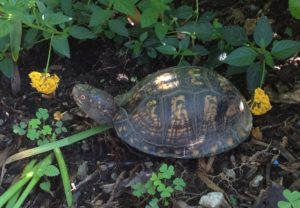Box Turtle (2)