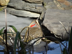 Common Flicker, birds in winter pond 016