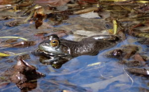 First Frogs of Spring 2015 012