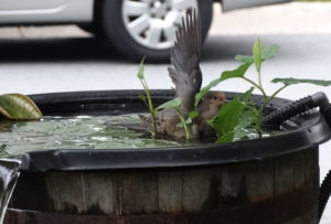 Mourning Dove in water feature, birds 002