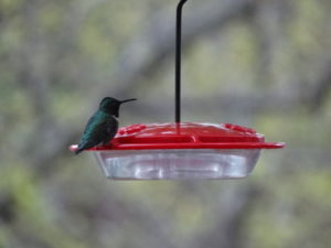 2015 first hummingbird 006