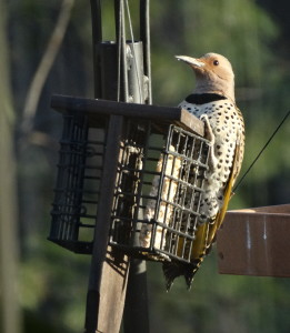 Common Flicker yellow-shafted Talk (1)