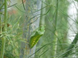 bronze fennel, swallowtail butterfly crysalis (1)